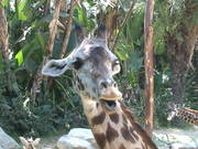 Giraffe's Tongue