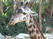 Giraffe's Tongue