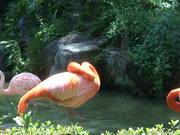 Scratching Flamingo