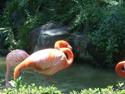 Scratching Flamingo