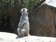 Fun Meerkat