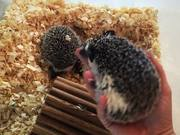 Our Friendly Hedgehogs