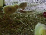 Chickies Growing - Day 16