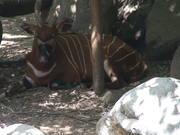 Okapi Resting
