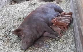 Mama Pig And Her Newly Born Piglets