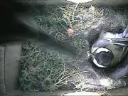 Inside Nest Box of a Great Tit Raising Her Chicks