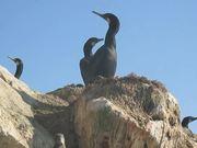Asuncion Island Sea Lions & Baby Cormorants