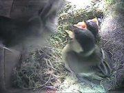 Inside Nest Box of a Great Tit Raising Her Chicks