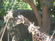 A Giraffe and its Young