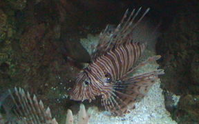 Two Lion Fish