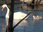Swan Scenes
