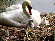 Swan and Her Babies