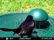 Grackle at Bird Bath
