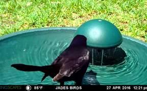 Grackle at Bird Bath