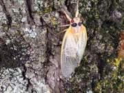Magicicada Periodical Cicadas
