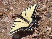 Papilio Multicaudata