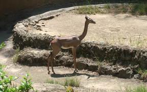 Baby Gazelle