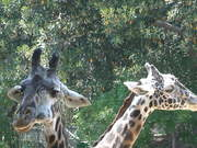 Giraffe Eating in the Afternoon