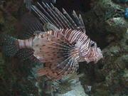 Big Lion Fish
