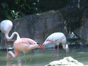 White and Pink Flamingos