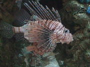 Big Lion Fish