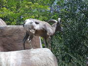 Cool Ibex