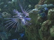 Lion Fish Swimming