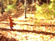 Dancing Leaf and Sunlight