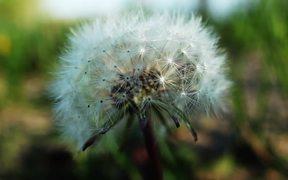 Beautiful Dandelion Windy in Macro View