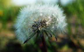 Beautiful Dandelion Windy in Macro View