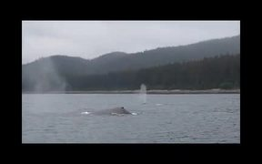 Glacier Bay National Park: Humpback Whales
