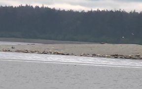 Glacier Bay NP: Harbor Seals of Glacier Bay