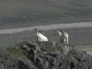 Denali National Park: Dall sheep video reel