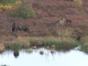 Denali National Park: Moose video reel