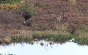 Denali National Park: Moose video reel