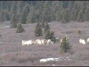Denali National Park: Wildlife video reel