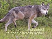 Denali National Park: Wildlife Encounters