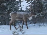Denali National Park: Caribou video reel