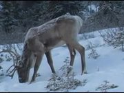 Denali National Park: Caribou video reel