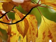 Fall Leaves in Macro View