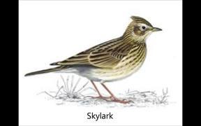 Farmland Bird Songs