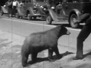 Yosemite Nature Notes: Black Bears