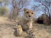 Cheetah Toy