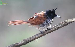 Birds of Sahyadri :Asian Paradise Flycatcher