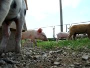 Making Of: Jumpy Little Pigs