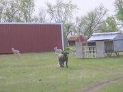 Lamb Race