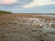 Slower Fiddler Crabs Beach