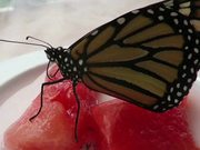 Newly Emerged Monarch Butterfly Feeding