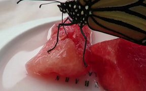 Newly Emerged Monarch Butterfly Feeding