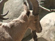 King Ibex